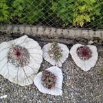 Betonblätter mit Hauswurz bepflanzt
